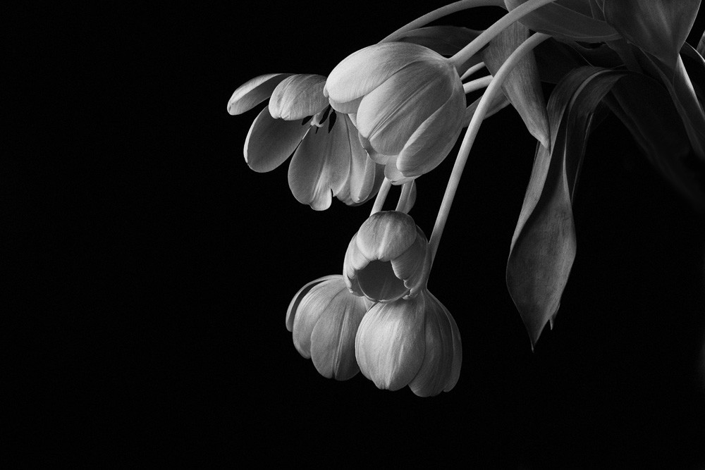 Graceful | Photograph of Tulips | Susan Michal Fine Art