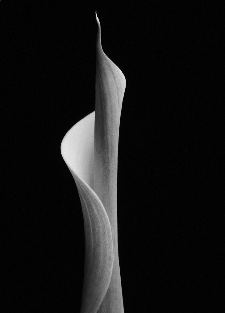 Adament | Photograph of a Calla Lily | Susan Michal Fine Art