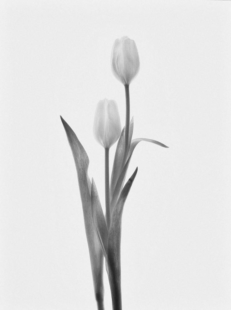 Perfect Pair | Photograph of Tulips | Susan Michal Fine Art