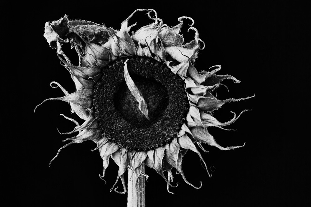 Proud Photograph of a Sunflower | Susan Michal Fine Art