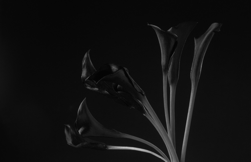 Black Beauty   Photograph of Calla Lilies   Susan Michal Fine Art