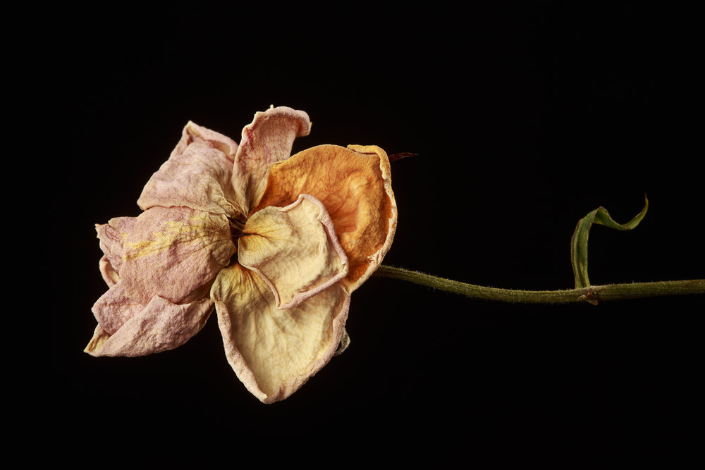 Fragile Photograph of Withered Rose | Susan Michal Fine Art