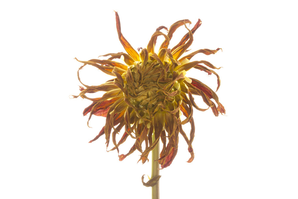 Out of Control Photograph of a Withered Flower | Susan Michal Fine Art