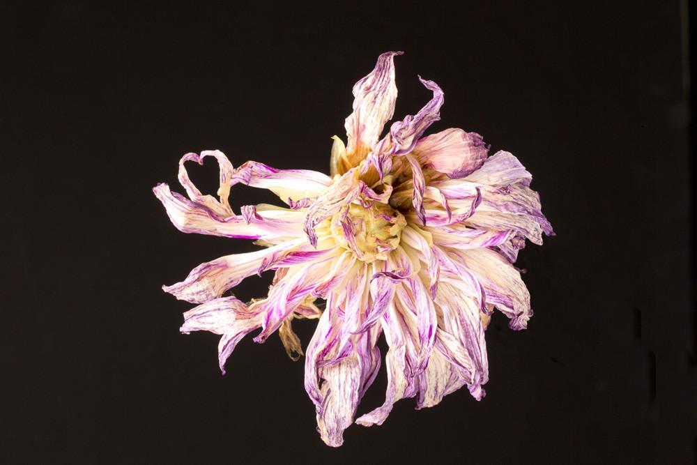 Hidden Heart Photograph of a Wilted Flower | Susan Michal Fine Art