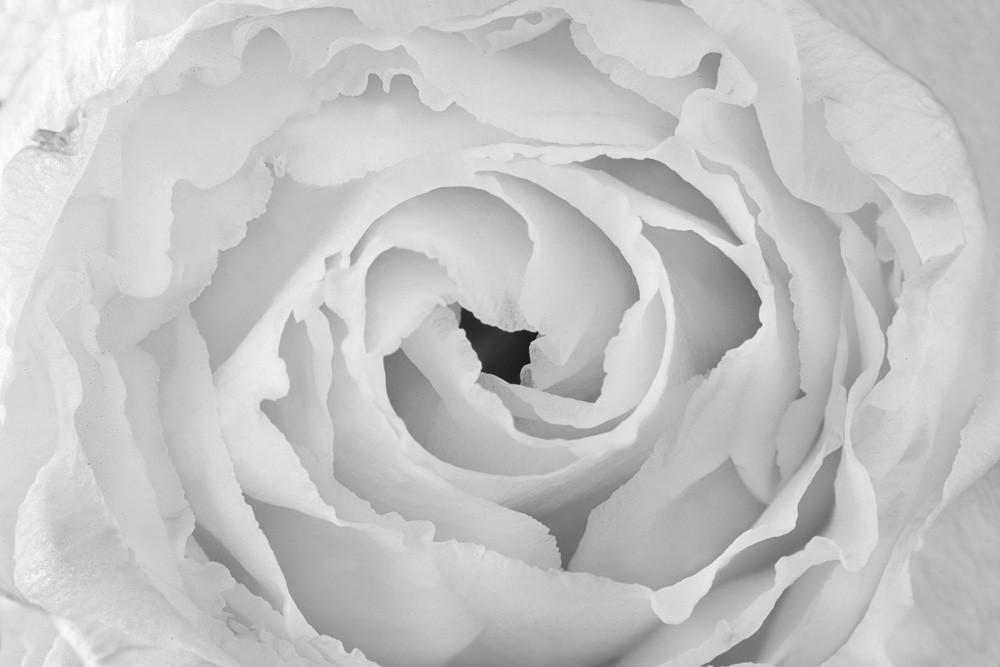 See Through   Photograph of a Rose   Susan Michal Fine Art