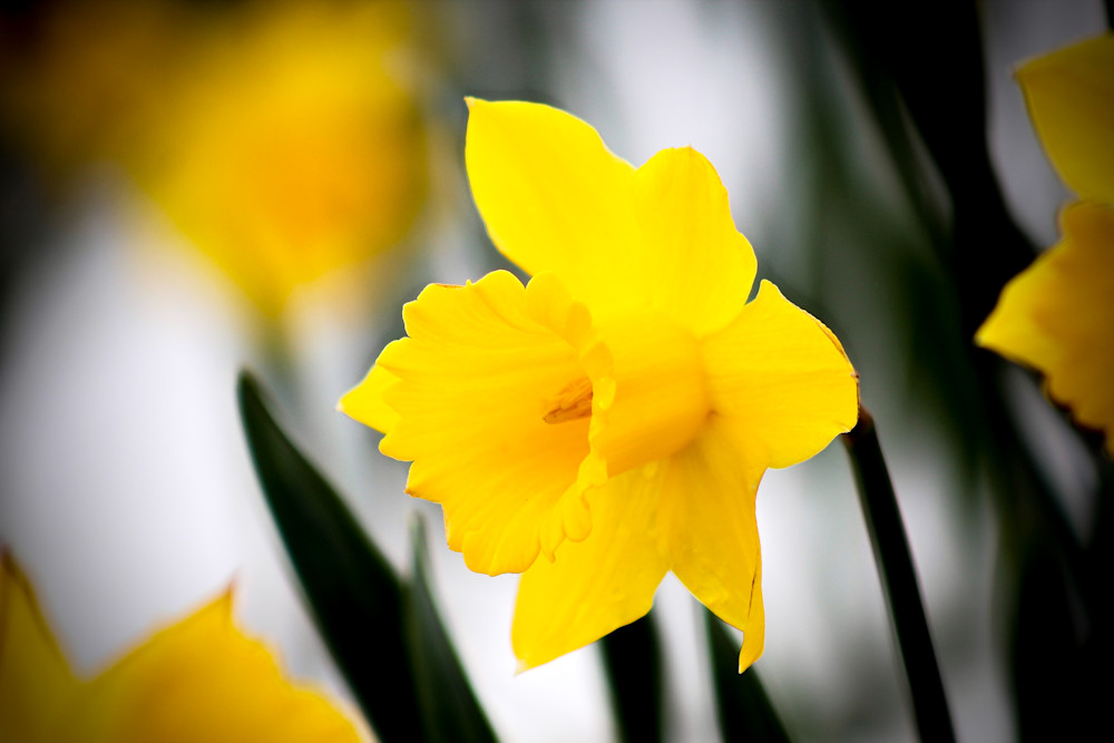 Yellow Narcissus-BSouth, Spring, daffodils, yellow