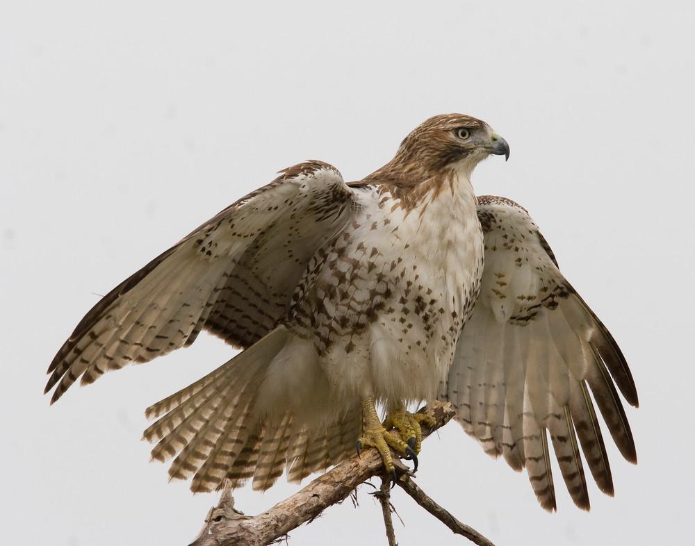 Redtail Hawk open wings