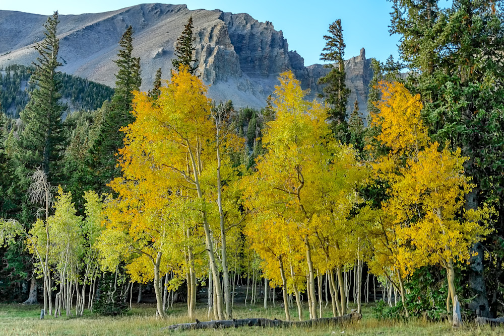 Great Basin Aspen Morning