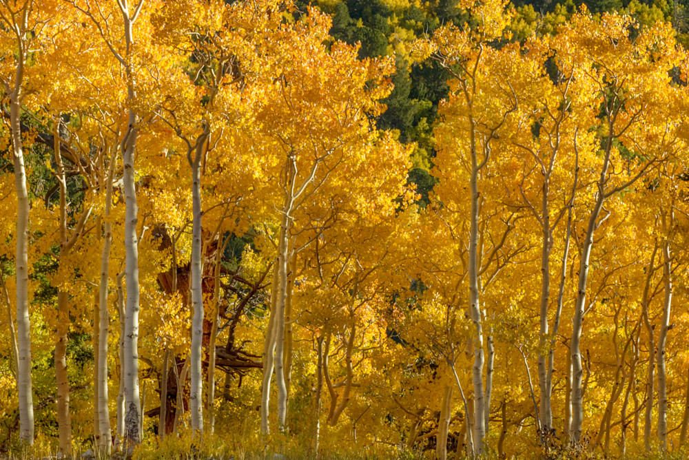 Morning Sunglow Aspen