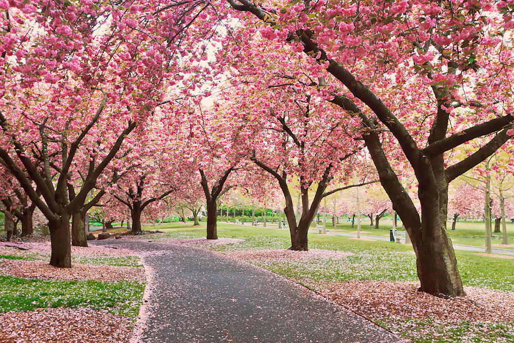 """Cherry Path"" Brooklyn NY Botanic Garden cherry trees photograph"