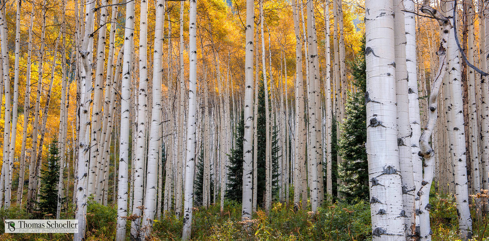 Flaming Colorado Aspens near Crested Butte/fine art prints ready to hang