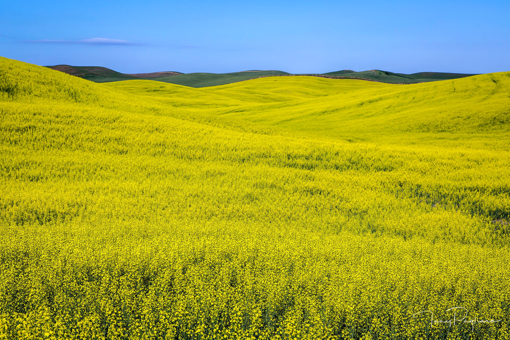 Canola Sea   Palouse, Wa Art | Tony Pagliaro Gallery
