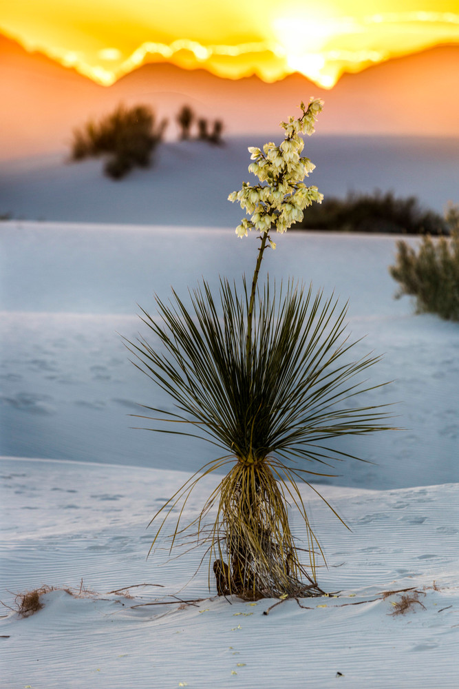 Orange Sunset On White Sands Yucca photograph for sale as art.