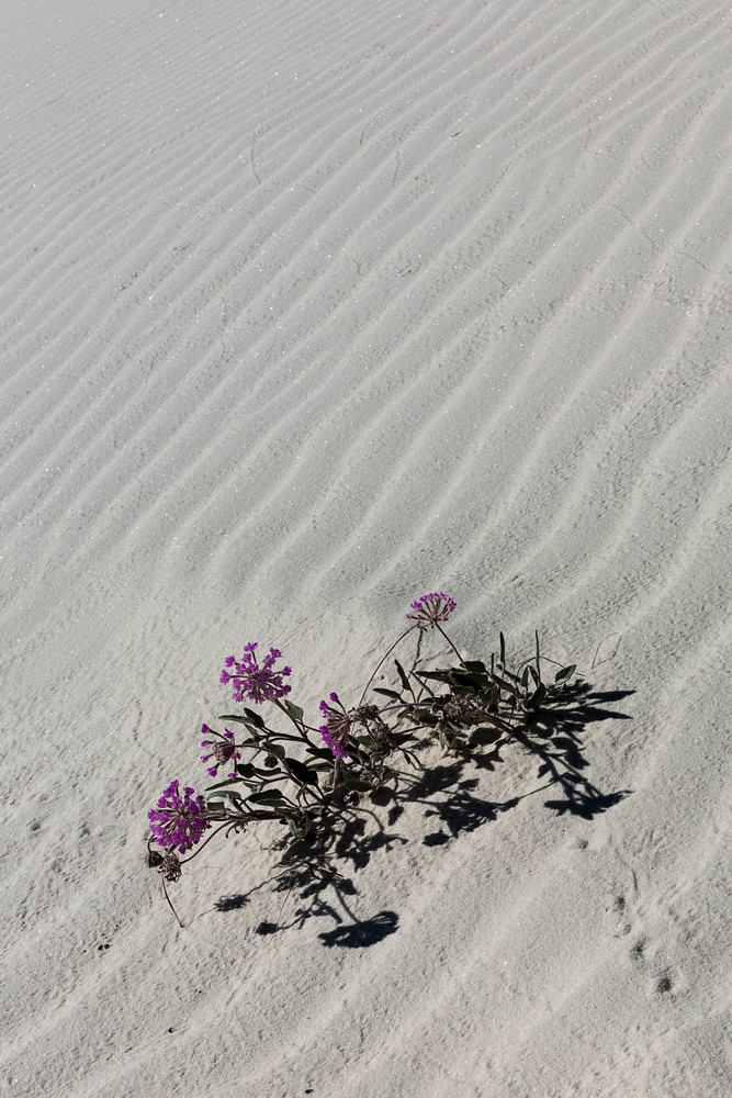 White Sands Pink Sand Rose photograph for sale as art.