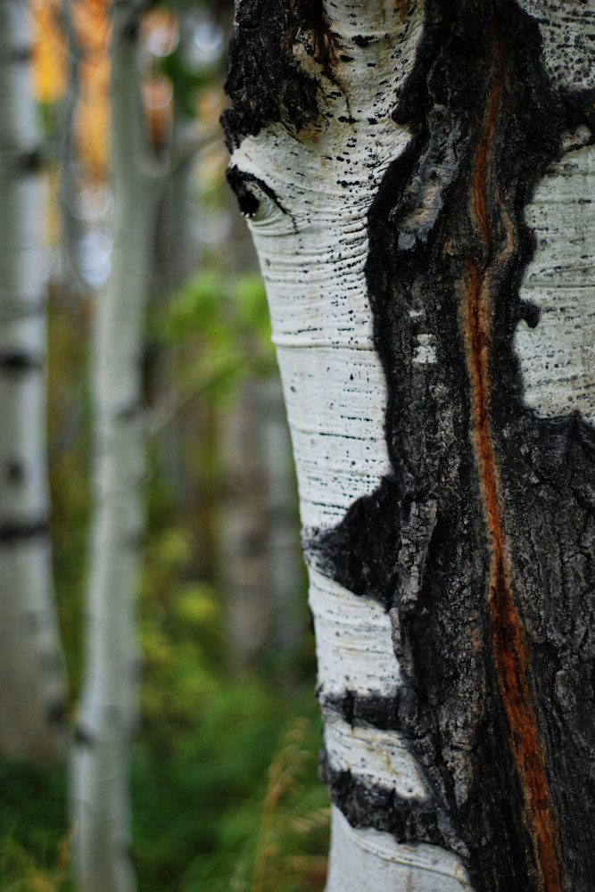 Autumn Horseplay - Aspen Trees Victor Idaho - Fine Art Prints on Metal, Canvas, Paper & More By Kevin Odette Photography