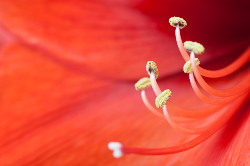 Amaryllis flower photograph for sale as Fine Art
