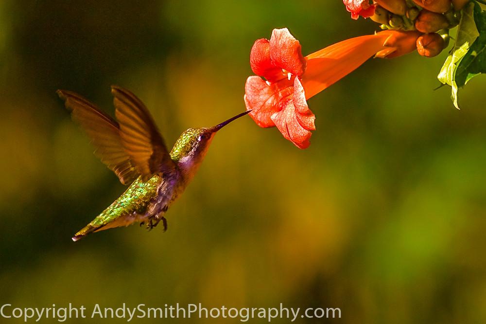 fine art photograph of Ruby -throated Hummingbird Feeeding
