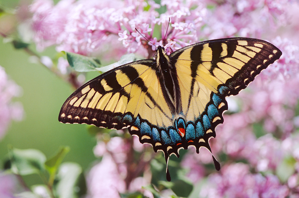 Swallowtial Butterfly on Lilac flowers photograph for sale as Fine Art.