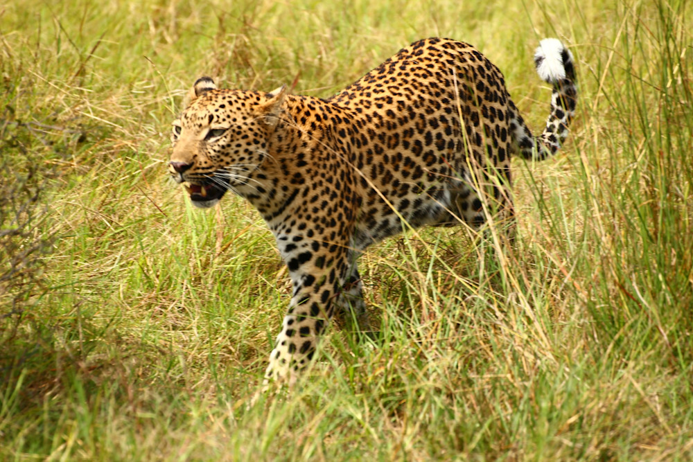 img-0592-edited-2 Leopard stalking