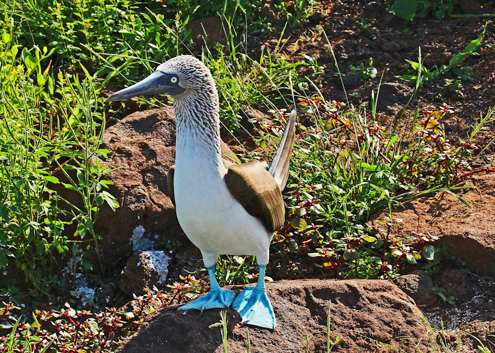 "Blue Footed Booby, ""with attitude"""