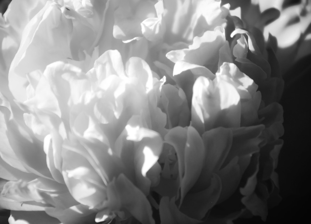 Ruffled-Petals-BSouth, Flowers, macro, black-and-white