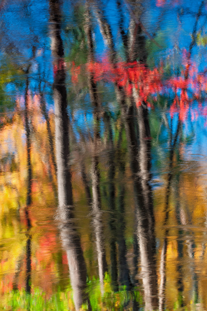 New Hampshire autumn luminating the Birch trees..