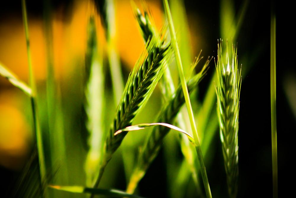 Wheat-Grass-BSouth