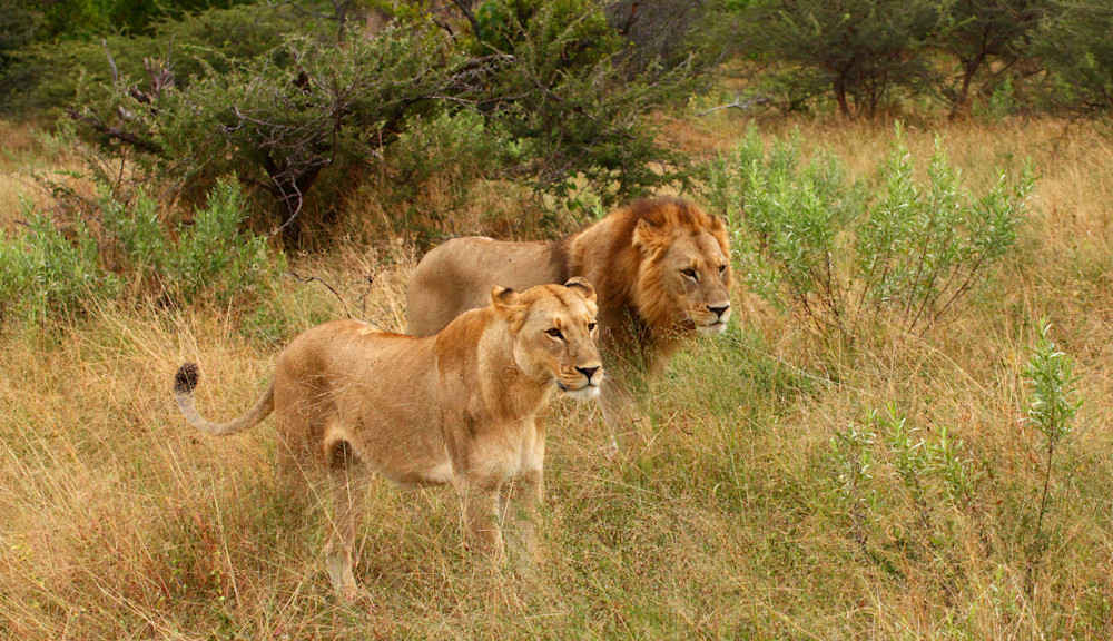 lion couple walking