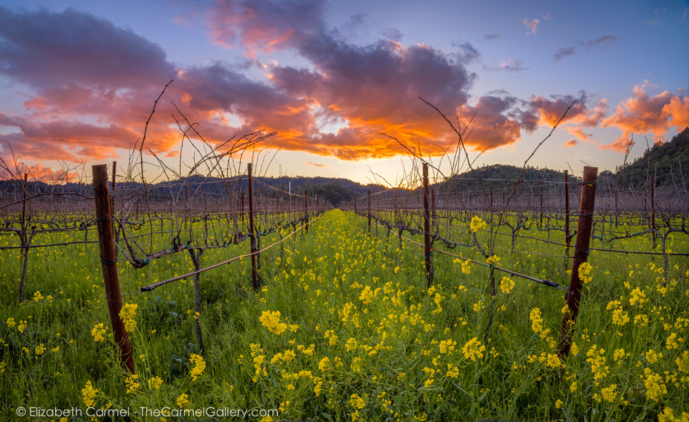 photo of a sunset over a vineyard in the Napa Valley