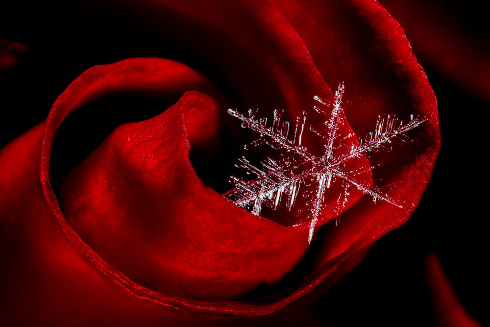 Snowflake on a Rose