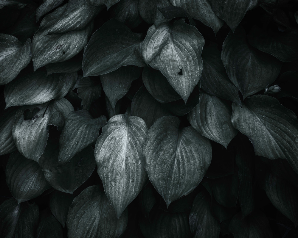 monochromatic and dramatic hosta plants