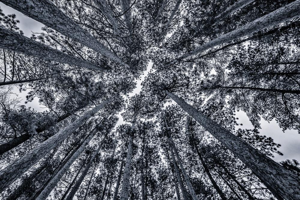 Pine forest and sky black and white