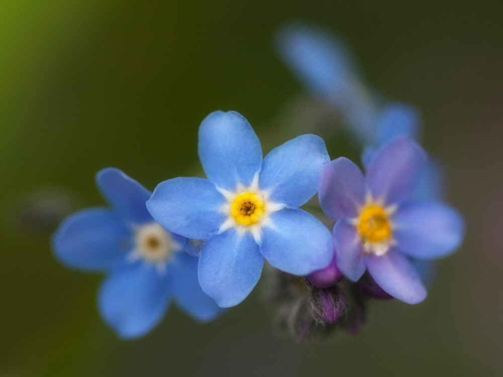 NH forget me not flowers