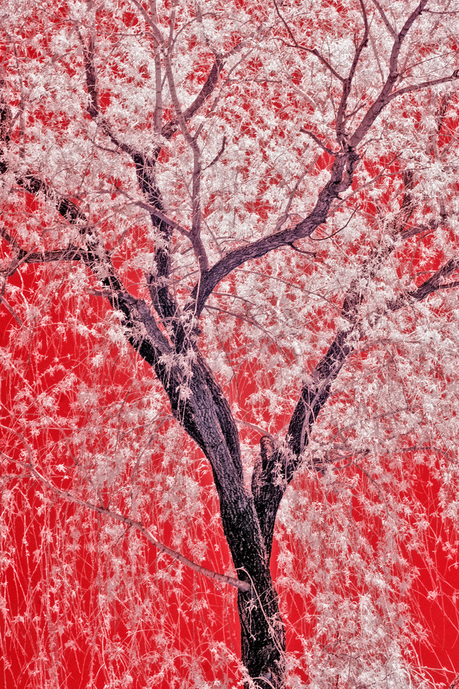 IR - red, black and white weeping willow tree