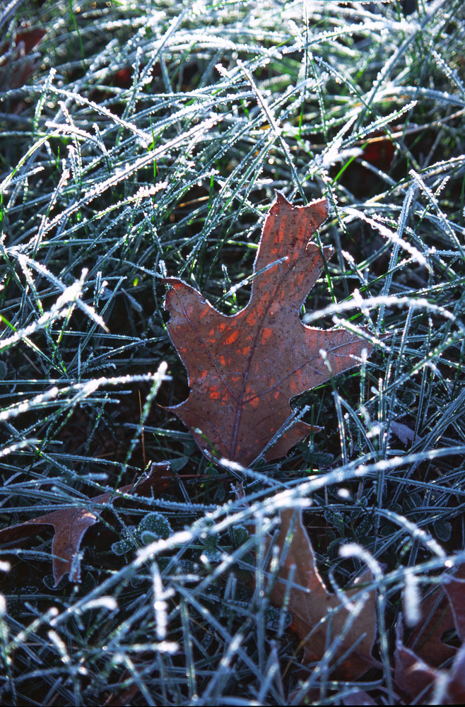Early morning sun lights up a frosty Oak Leaf - fine art photograph