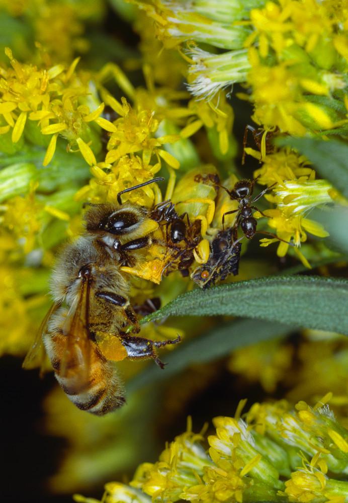 Jagged Ambush Bugs with Honeybee prey - fine art photograph