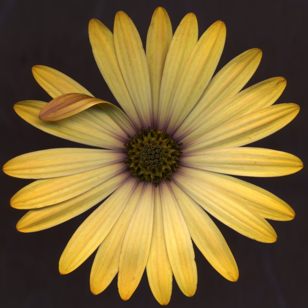 Yellow Aster Large Flower Photograph For Sale As Fine Art Prints