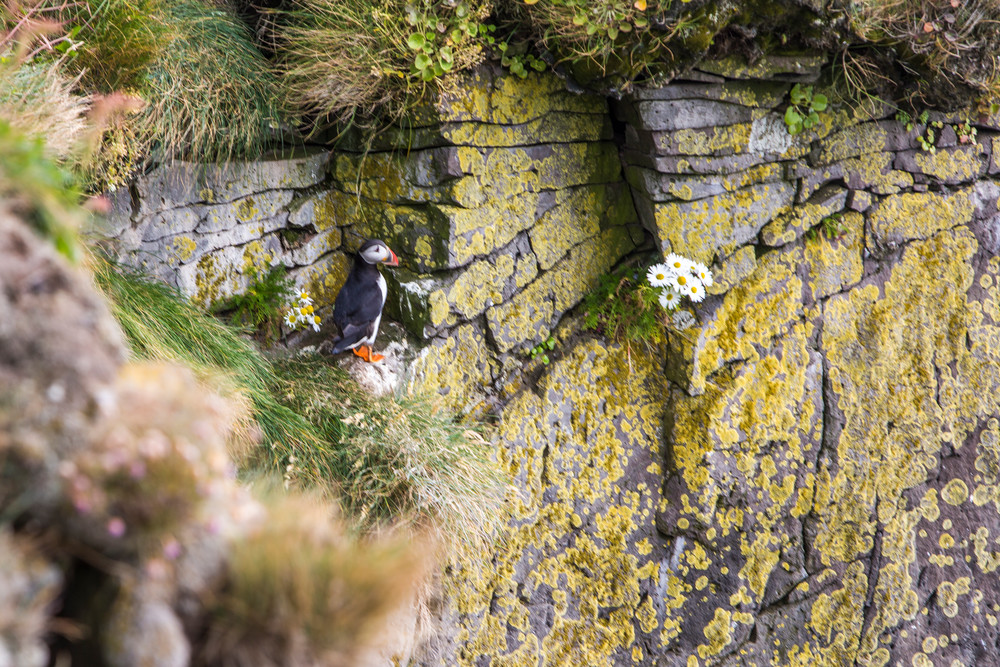Puffin on the Wall