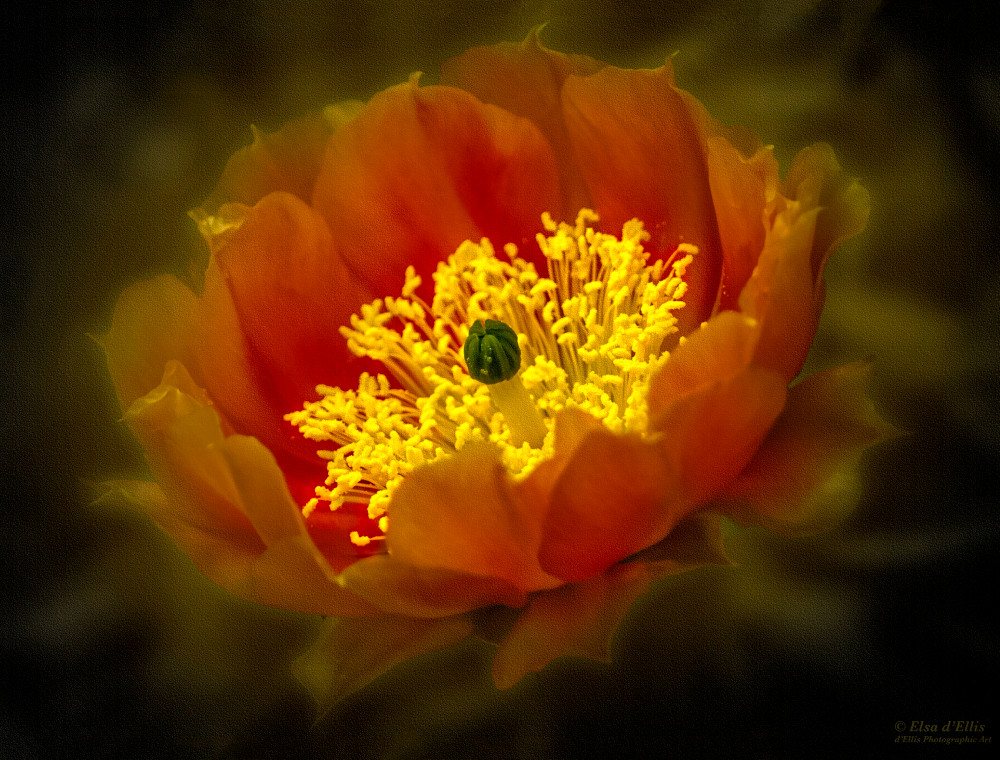 Red Tulip Prickly Pear, d'Ellis Photographic Art photographs, Elsa