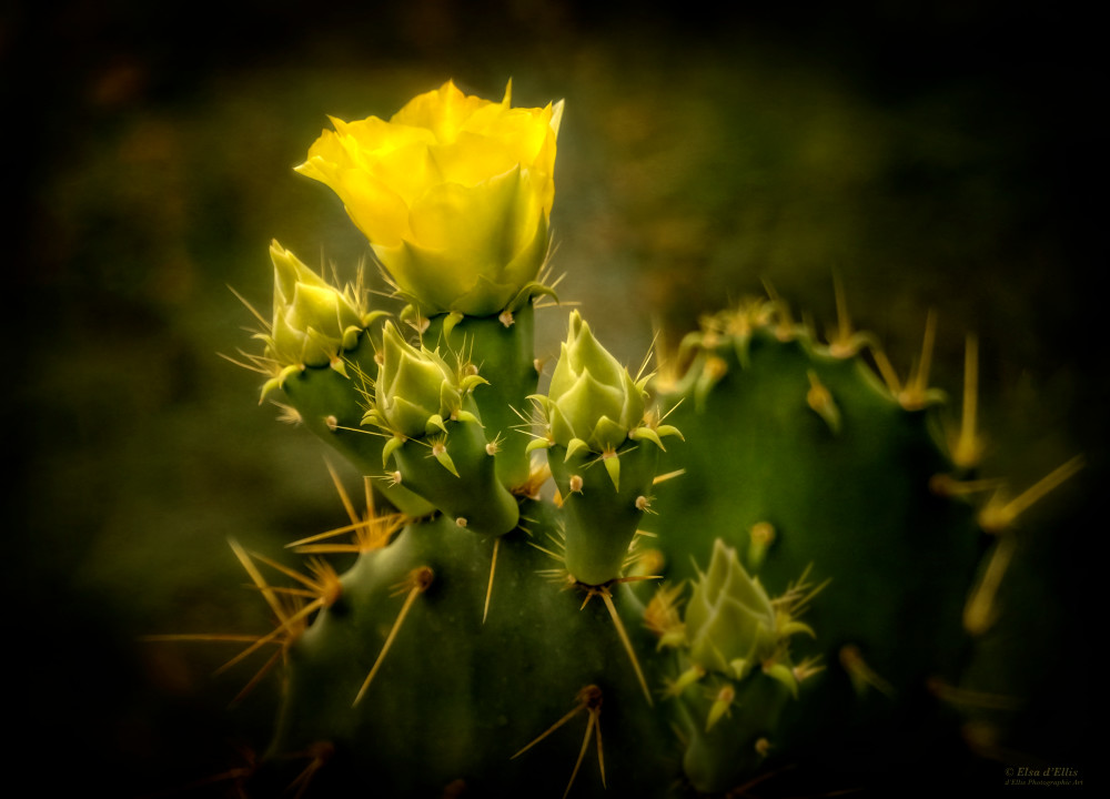 Yellow Prickly Pear, d'Ellis Photographic Art photographs, Elsa