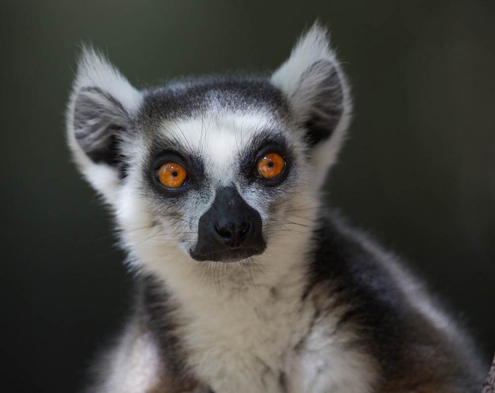 Ring-tailed lemur ponders his next jump.