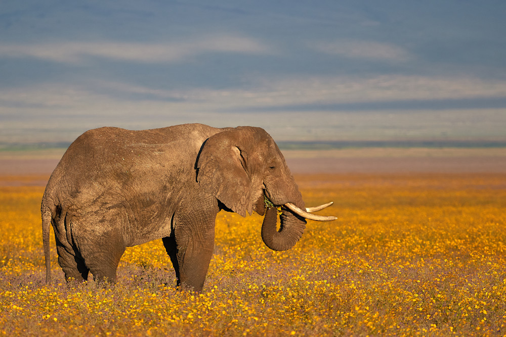 Elephant in a field of yellow flowers