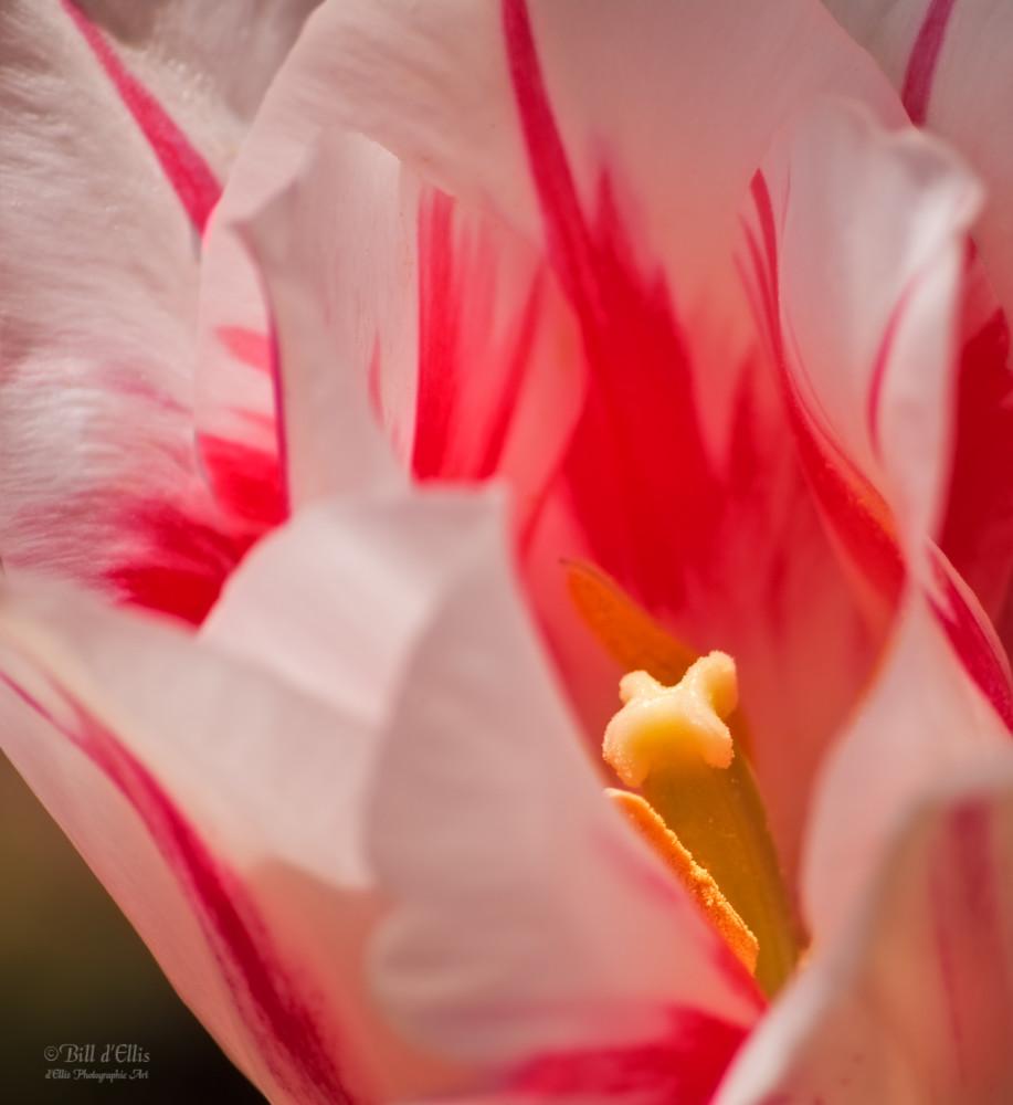 Flames of Spring, d'Ellis Photographic Art photographs, Bill