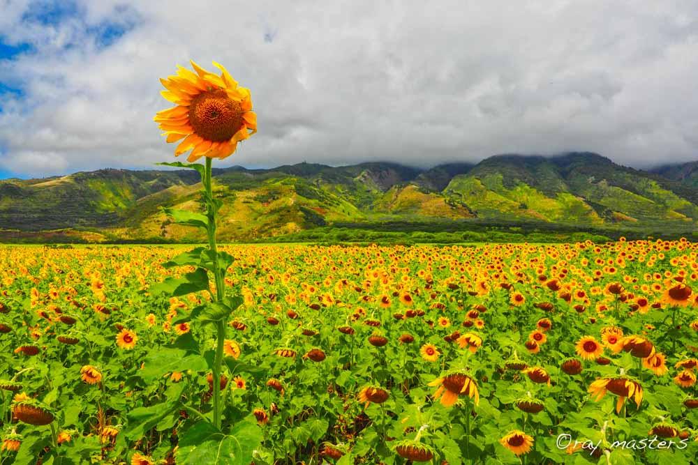 Sunflower Standing Tall over Maui Hawaii