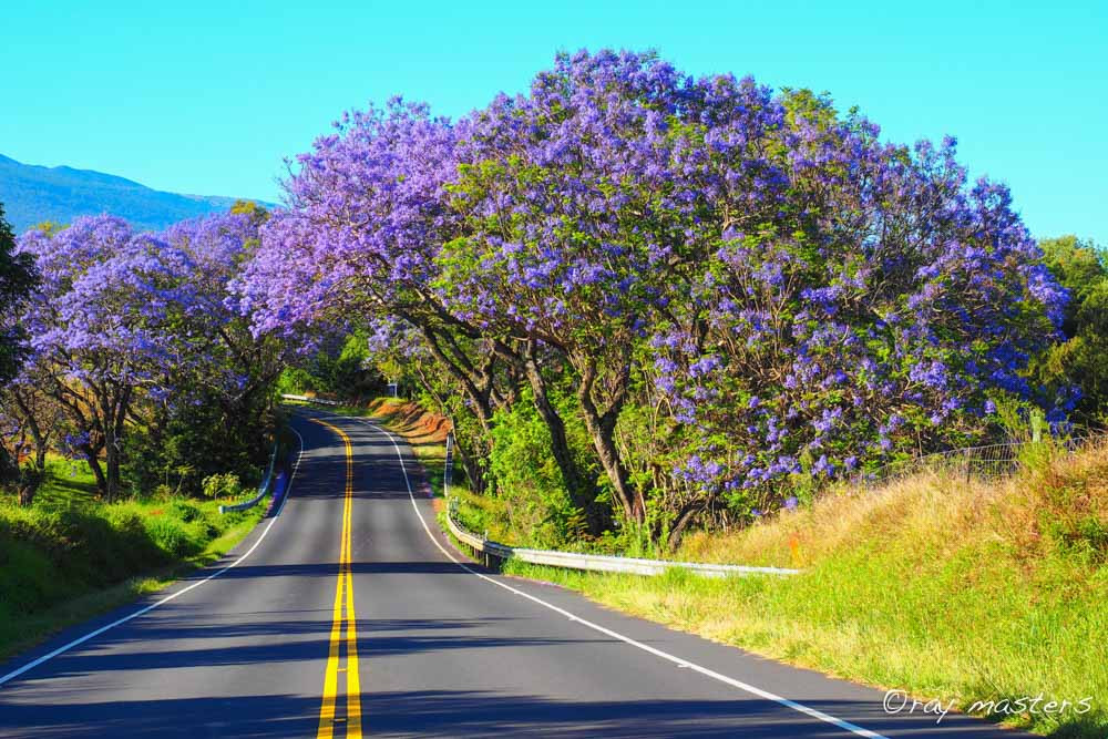 Purple jacaranda trees in bloom on Maui Hawaii