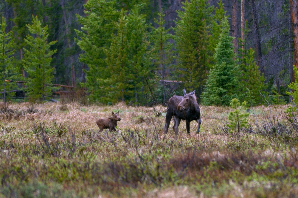 Moose Cow & Calf (Alces alces)