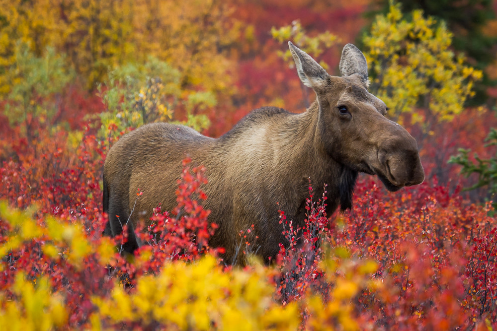Autumn Moose