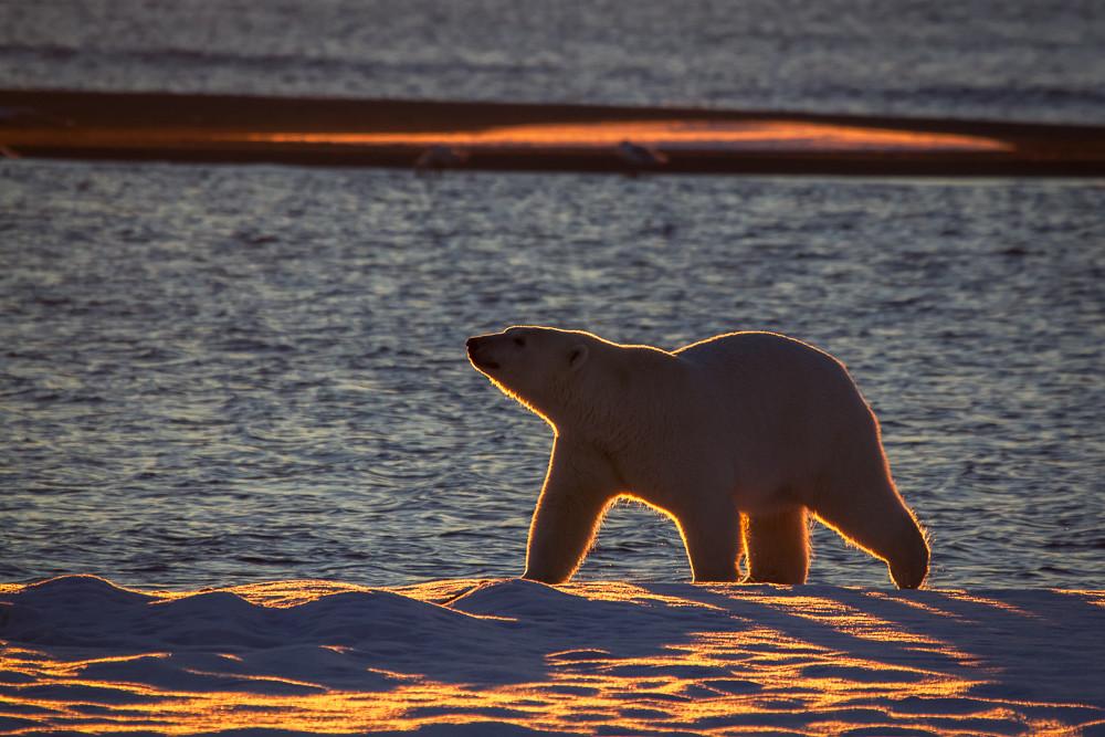 Arctic Silhouette