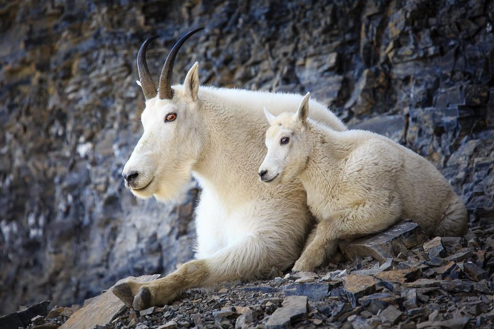 Timp Mountain Goats