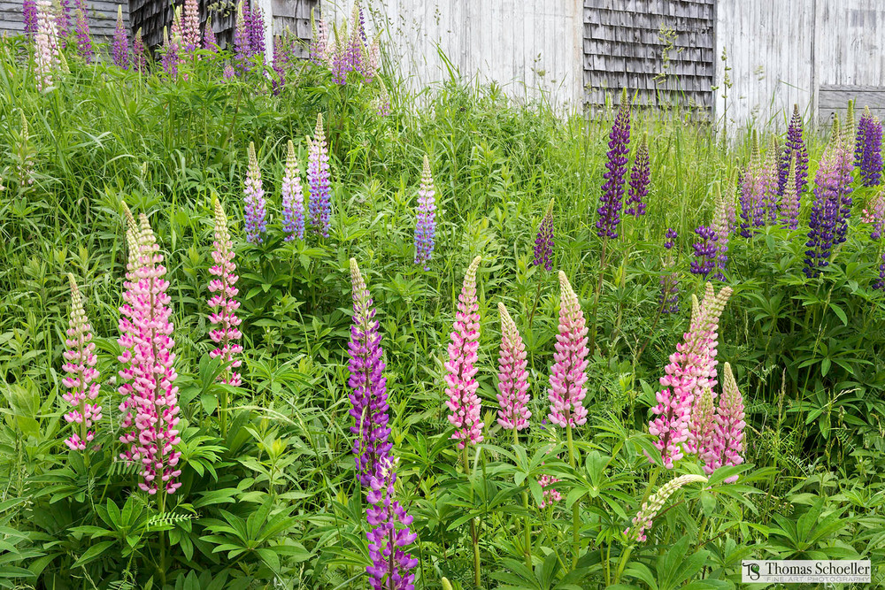 Quaint New England farmhouse art print from mid-coast Maine/a patch of colorful wild growing Lupine Cones